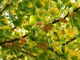 Ginkgo biloba 100 seedlings