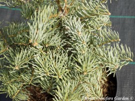 Abies concolor 'Archer's Dwarf'