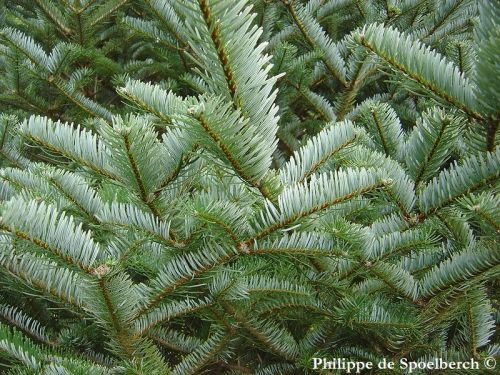 Abies forrestii