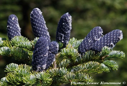 Abies nephrolepis
