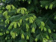 Abies pindrow var. brevifolia