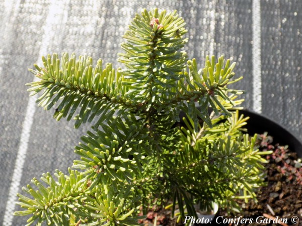Abies x koreocarpa