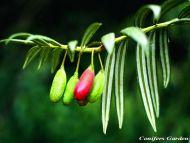 Amentotaxus yunnanensis