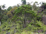 Callitris macleayana