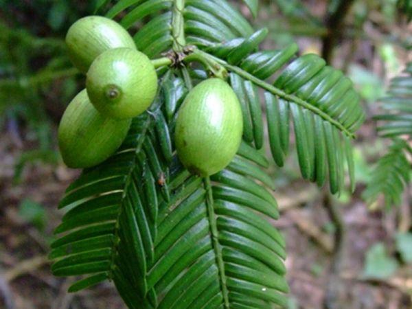 Cephalotaxus oliveri