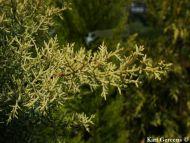 Cupressus arizonica 'Aurea'