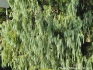 Cupressus cashmeriana