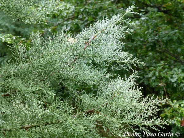 Cupressus chengiana