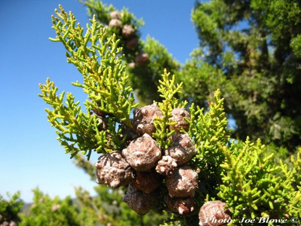 Cupressus guadalupensis var. forbesii
