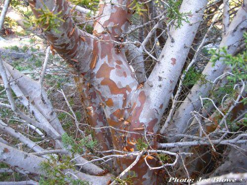 Cupressus arizonica var. stephensonii