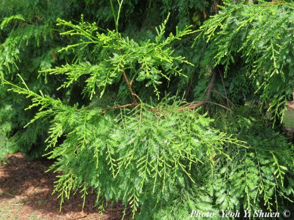 Dacrycarpus imbricatus
