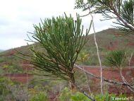 Dacrydium araucarioides