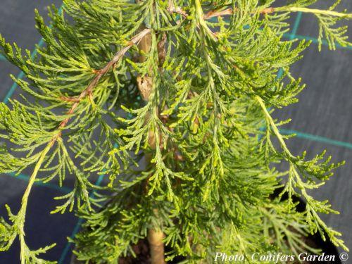 Juniperus virginiana 'Pendula'