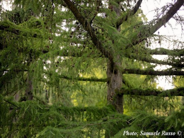 Larix gmelinii var. principis-rupprechtii