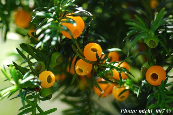 Taxus baccata 'Lutea'