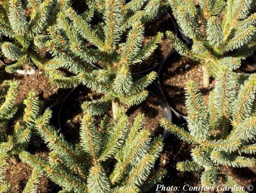 Picea abies 'Compacta'
