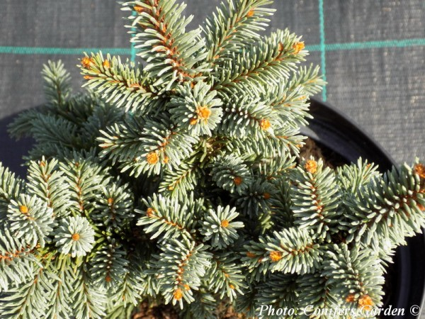 Picea abies 'Kamon'
