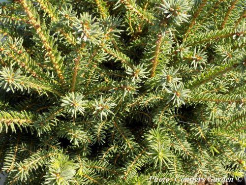 Picea abies 'Parviformis'