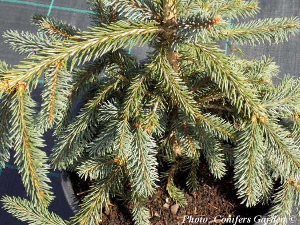 Picea abies 'Rotenhausii'