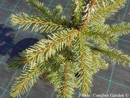 Picea alcoquiana