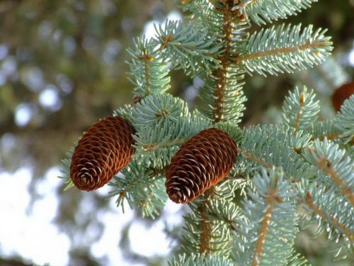 Picea crassifolia