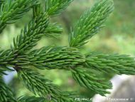 Picea glehnii