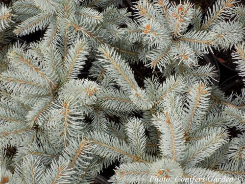 Picea pungens 'Fat Albert'