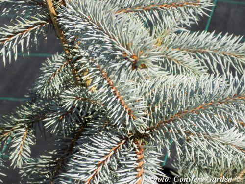 Picea pungens 'Novák'