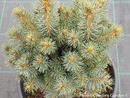 Picea pungens 'Silvanus Conica'