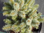 Picea sitchensis 'Tenas'