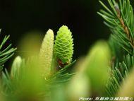 Picea torano