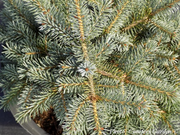 Picea x mariorika Machala