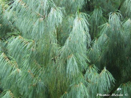 Pinus bhutanica