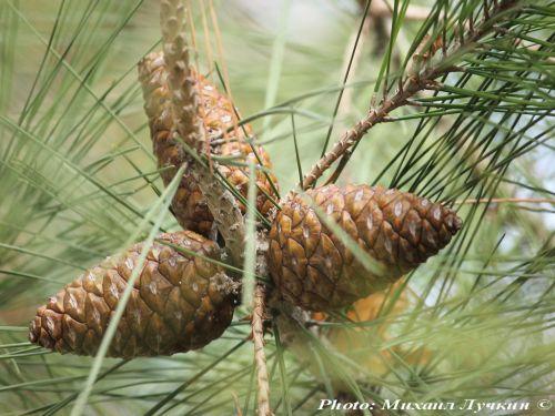 Pinus brutia var. pityusa