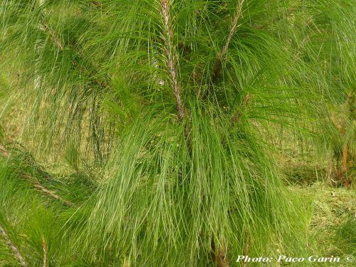 Pinus strobus var. chiapensis