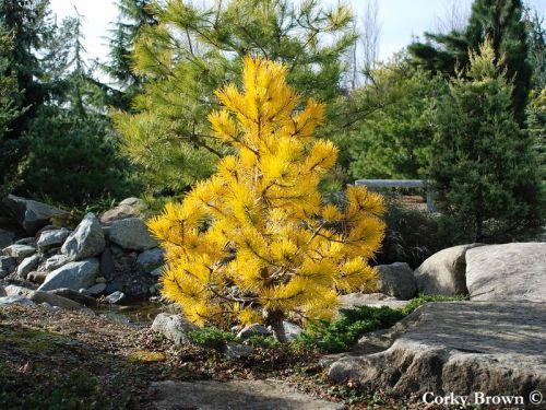 Pinus contorta var. latifolia 'Chief Joseph'