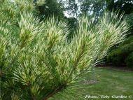 Pinus densiflora 'Oculus Draconis'