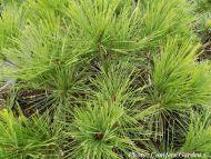 Pinus densiflora 'Umbraculifera'