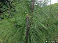 Pinus durangensis