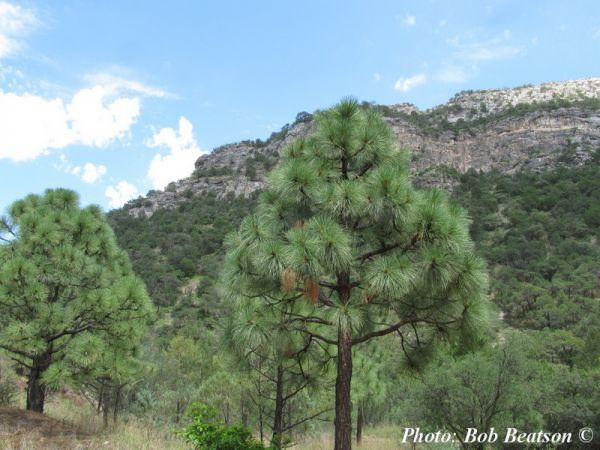 Pinus engelmannii