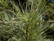 Pinus koraiensis 'Glauca'