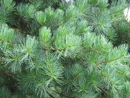 Pinus fenzeliana