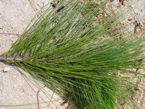 Pinus latteri