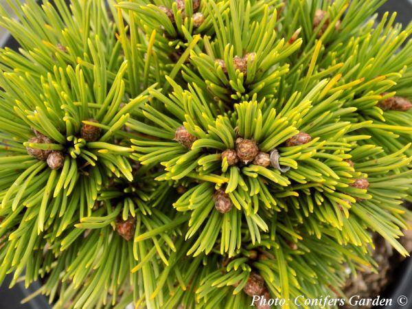 Pinus leucodermis 'Smidtii'
