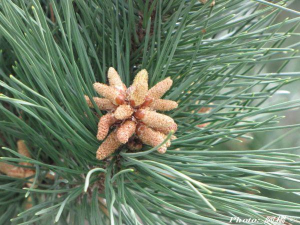Pinus luchuensis