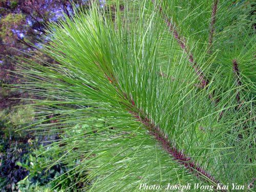 Pinus massoniana