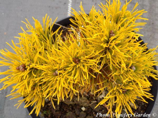 Pinus mugo 'Carstens Wintergold'