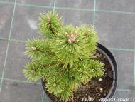 Pinus mugo 'Elemér'