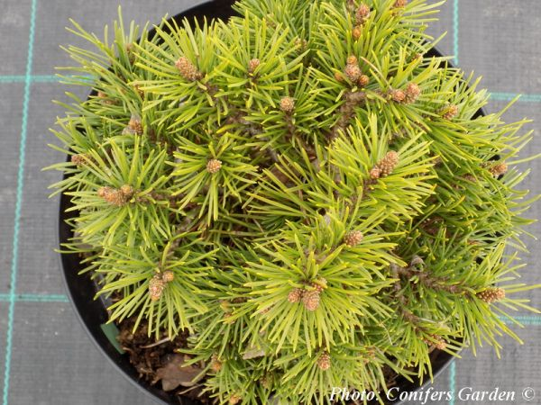 Pinus mugo 'Grune Welle'