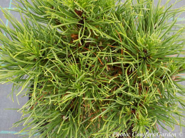 Pinus mugo 'Hesse'